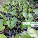 grosir bibit tanaman unggul jawa timur