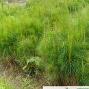 Jual Bibit Pohon Pinus Murah Berkualitas Di Jawa Timur