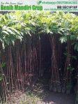 Jual Bibit Buah Sukun Murah Untuk Kebun