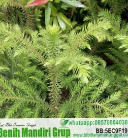 Jual Bibit Cemara Norfolk