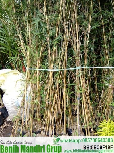 Jual Bibit Unggul Bambu China Harga Terjangkau