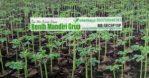 Jual Bibit Pohon Kelor Moringa Kualitas Unggul Online