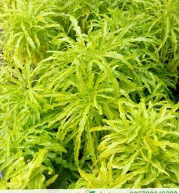Jual Bibit Bunga Brokoli Daun Kuning Murah Online