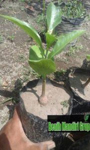 Jual Bibit Baobab Berkualitas Unggul Paling Murah