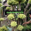 Jual Bibit Tanaman Semarang Via Online