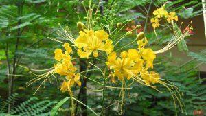 Jual Biji Tanaman Bunga Merak Siap Tanam Bibit Tanaman Unggul