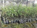 Jual Bibit Tanaman Mangrove Berbagai Jenis Dan Ukuran