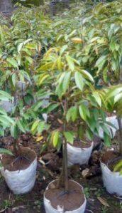 Jual Bibit Durian Kaki Tiga Murah