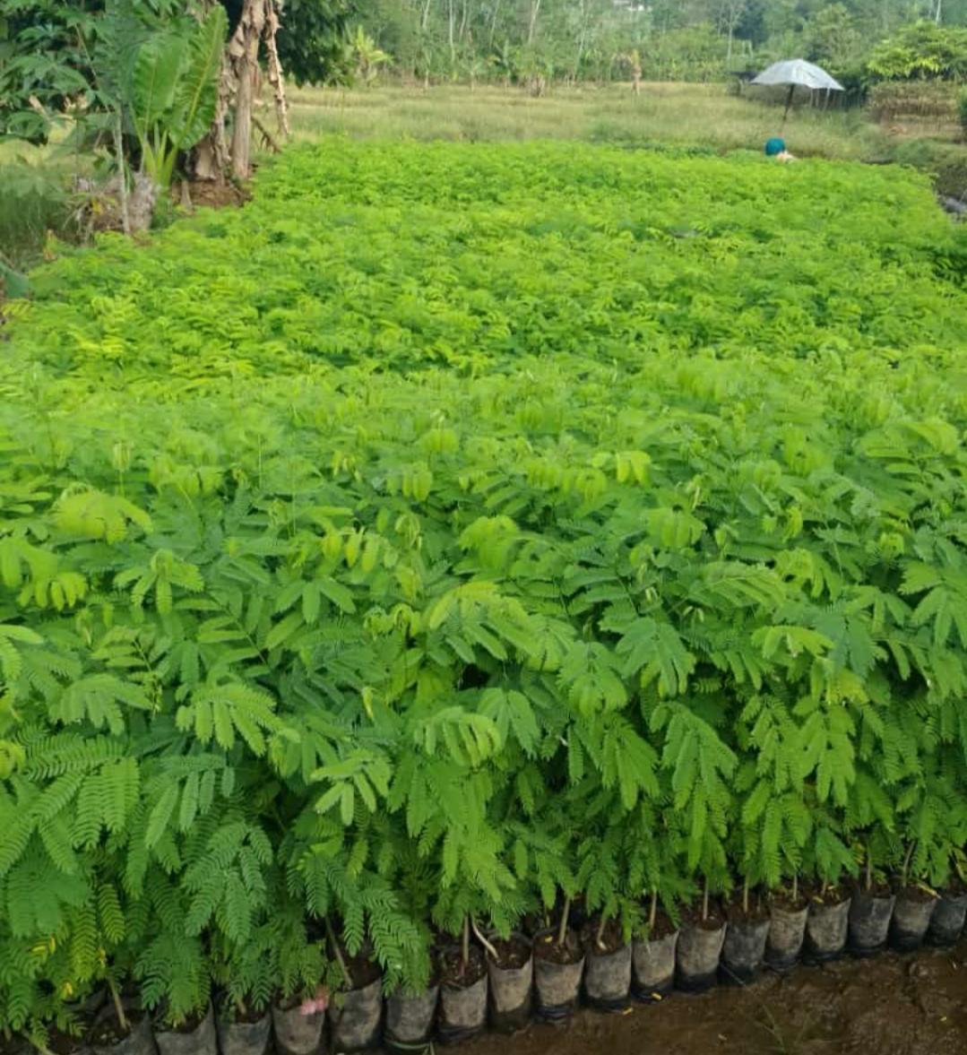 Jual Bibit Pohon Sengon Buto Untuk Perkebunan