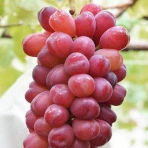 Anggur My Heart Si Buah Unik, Dapatkan Bibitnya Disini