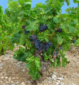 Begini Cara Tanam Bibit Buah Anggur Yang Benar Agar Cepat Tumbuh